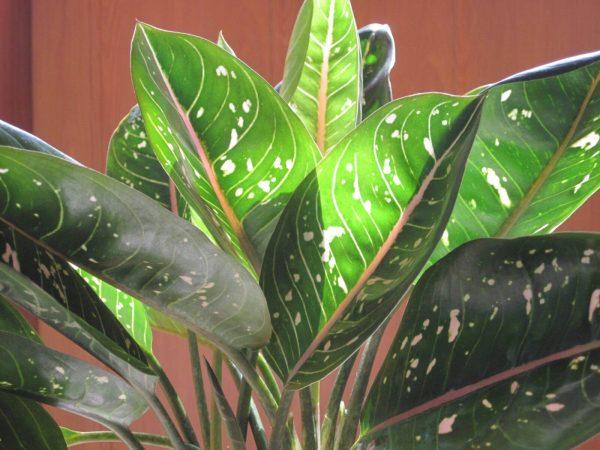 Листья аглаонемы