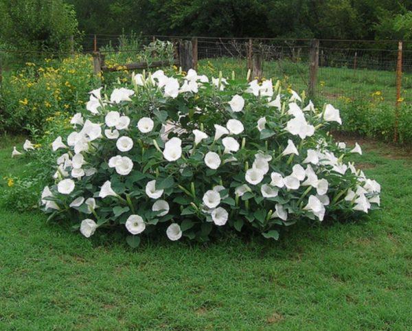 Садовый дурман, как правильно посадить и ухаживать за этим ядовитым цветком