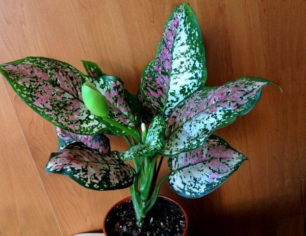 Растение аглаонема: уход в домашних условиях, размножение и фото цветка