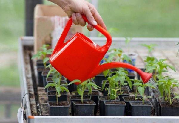 Поливать рассаду томатов следует умеренно.