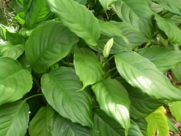 Aglaonema modestum