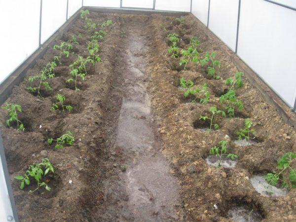 После посадки растения обильно поливают.
