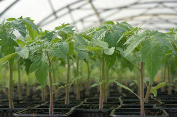 Рассаду помидоров можно высаживать.
