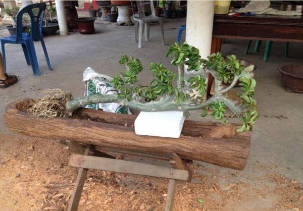 Выращивание обесума без обрезки