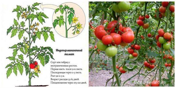 Высокорослые сорта помидор