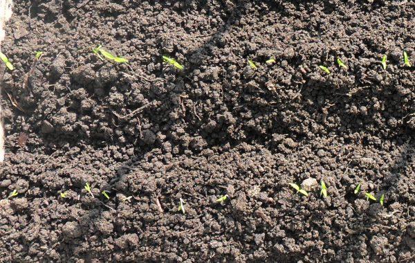 Посев семян сразу в землю