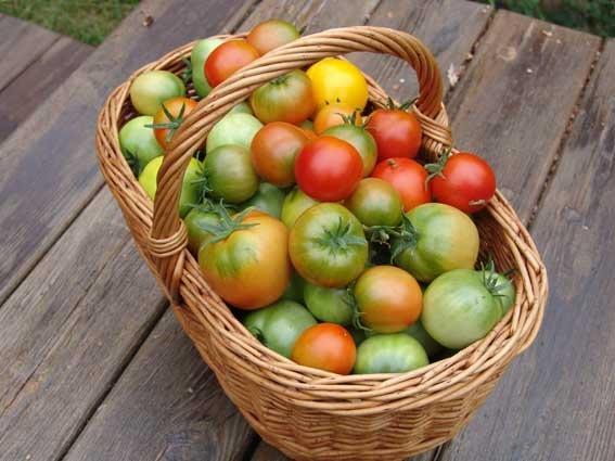 Уборка помидоров.