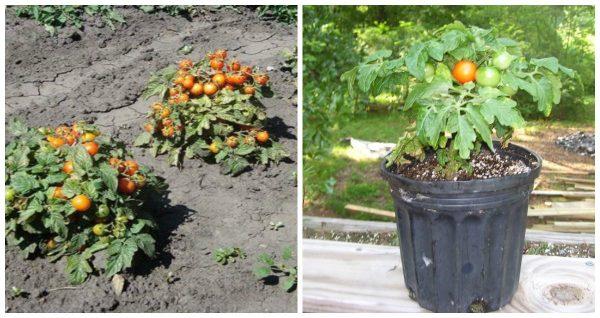 Ранние помидоры