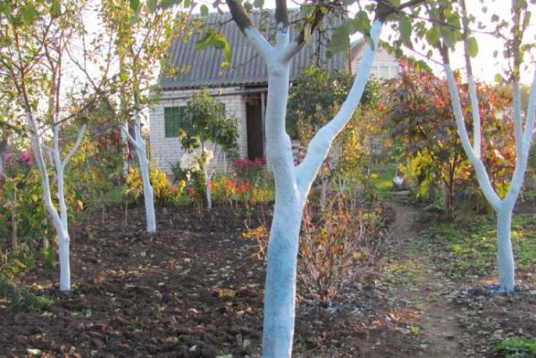 Побелка деревьев в октябре