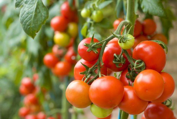 Когда сажать помидоры по Лунному календарю