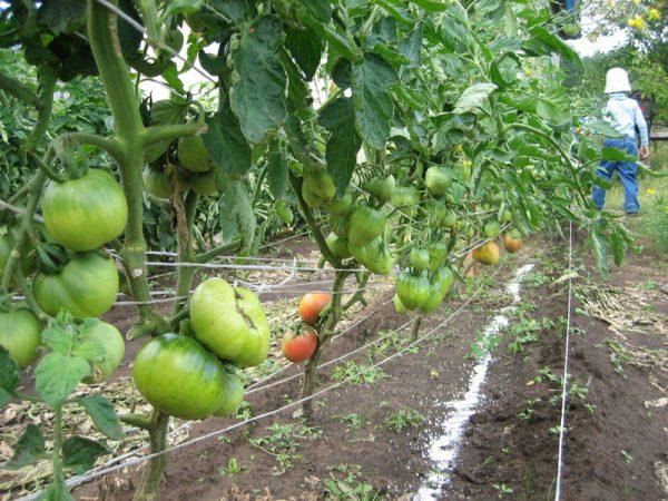 Обрезка нижних листьев у томатов