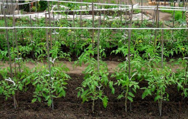 Посадка помидоров в грядки