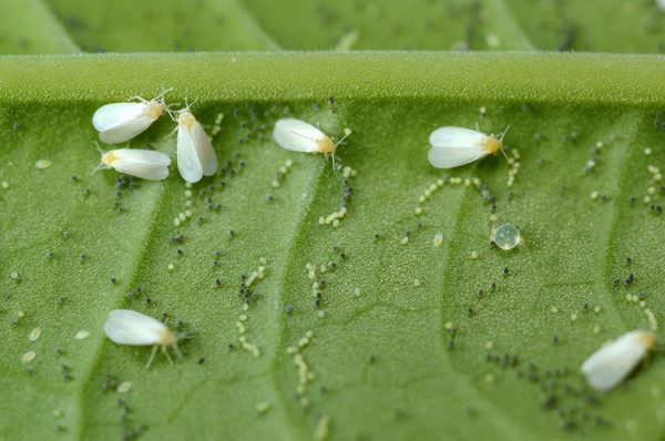 Личинки белокрылок