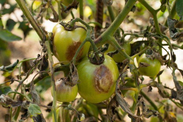 Бурые пятна на плодах