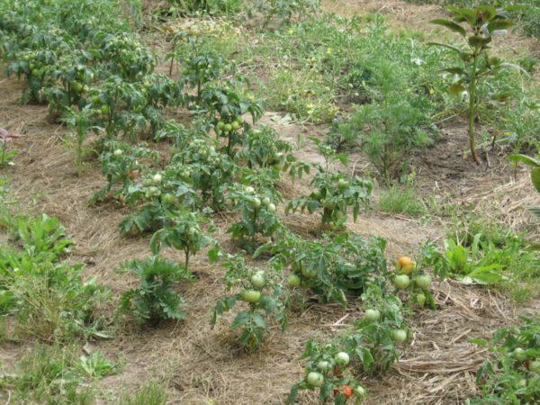 Низкорослые сорта помидор