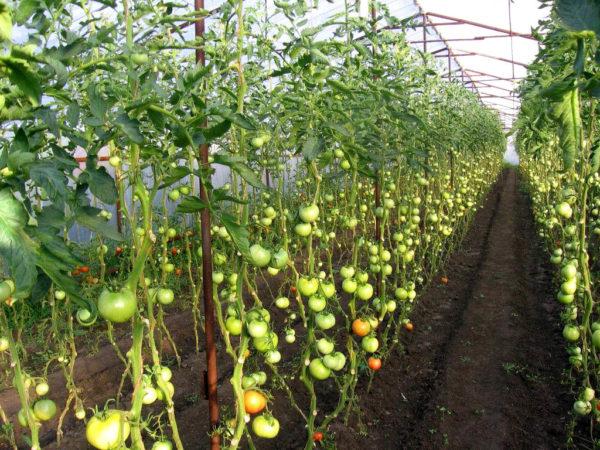 Кусты помидор в теплице