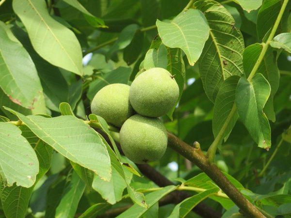 Плоды на ветке