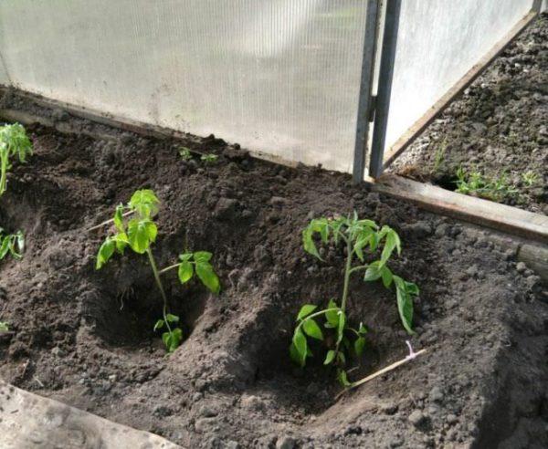Посадка тепличных томатов