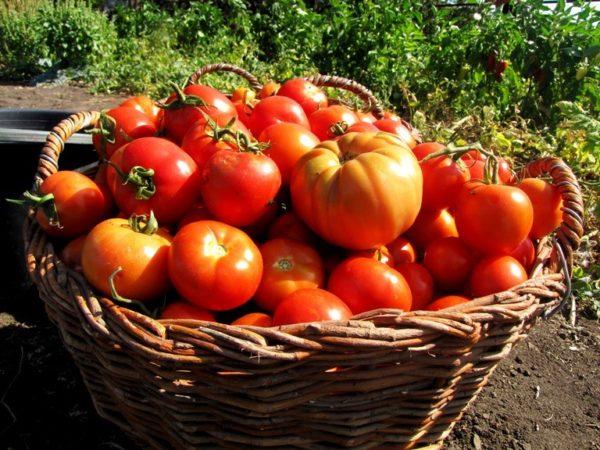 Урожай помидор