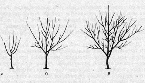 Схема обрезки саженцев