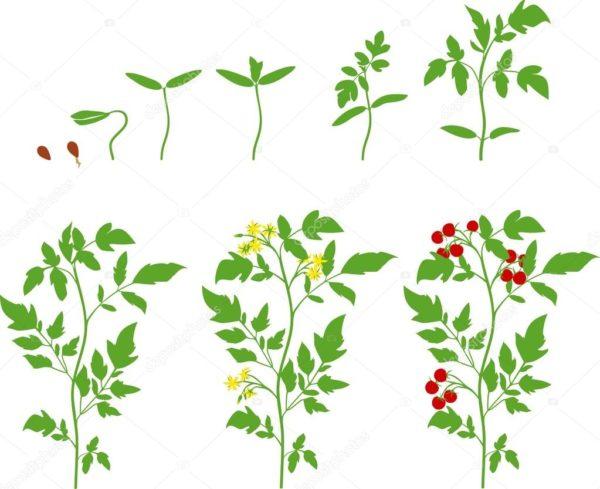 Стадии роста растения