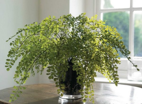Выращивание адиантума венерин волос в условиях квартиры, фото цветка
