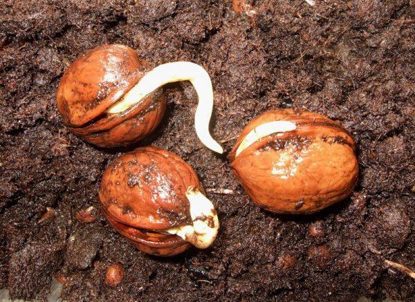 Грецкий орех можно вырастить из плодов.