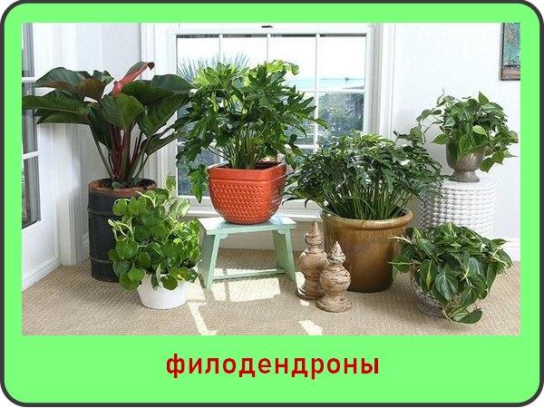 Филодендрон: фото и названия видов, уход за цветком в доме