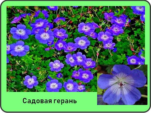 Герань садовая виды и сорта
