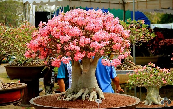 Адениум: уход и выращивание цветка в домашних условиях