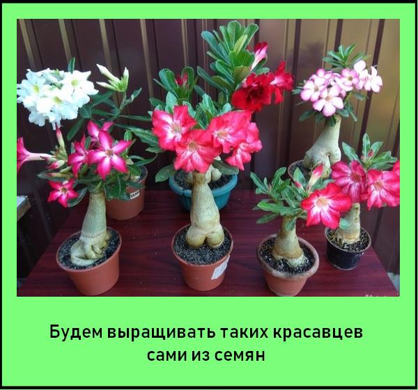 Выращиваем комнатный адениум из семян