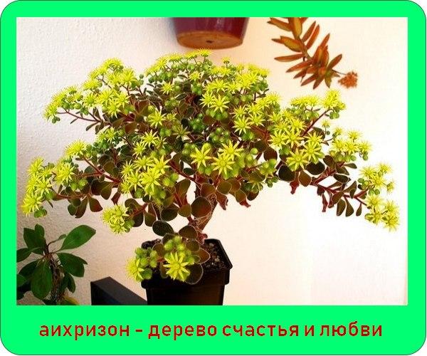 Комнатный цветок аихризон: фото, правила ухода и размножения