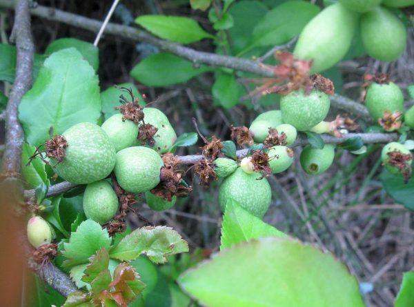 Плоды айвы на ветке
