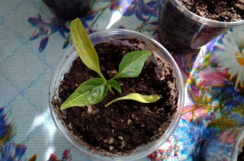 Сохнут листья у перца