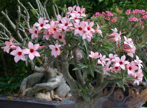 Цветение адениума