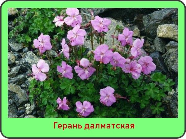 Далматская