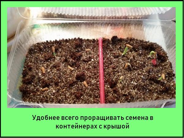 Проращивание семян в контейнере