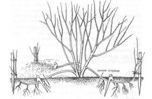 Размножение отводков