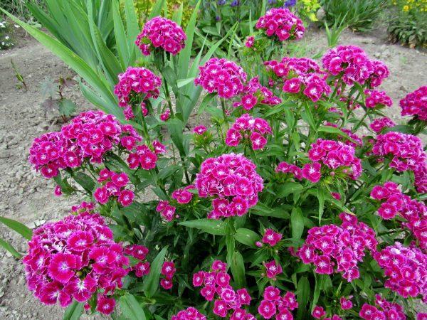 Выращивание турецкой гвоздики, уход, размножение, фото цветов в саду и на клумбе