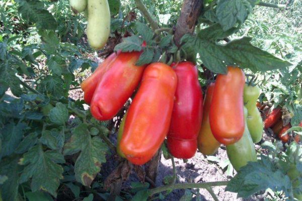 Устойчивые к вершинной гнили сорта томатов
