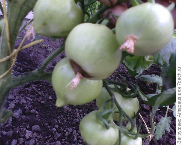 Так выглядят заболевшие помидоры