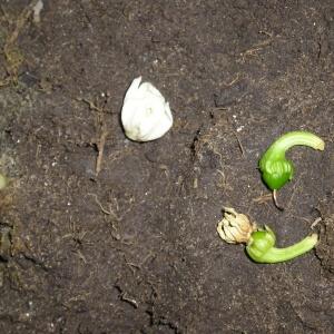 Проблемы с перцем при выращивании в теплицах