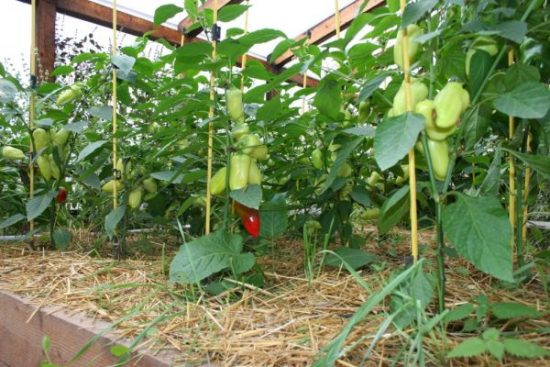 Перец в теплице выращивание и уход