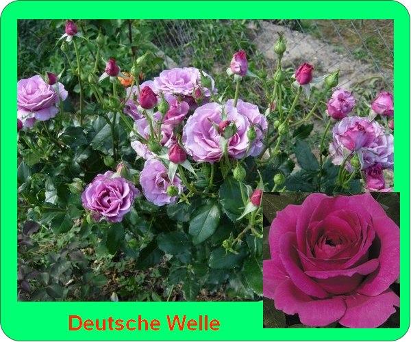 Dojche Velle