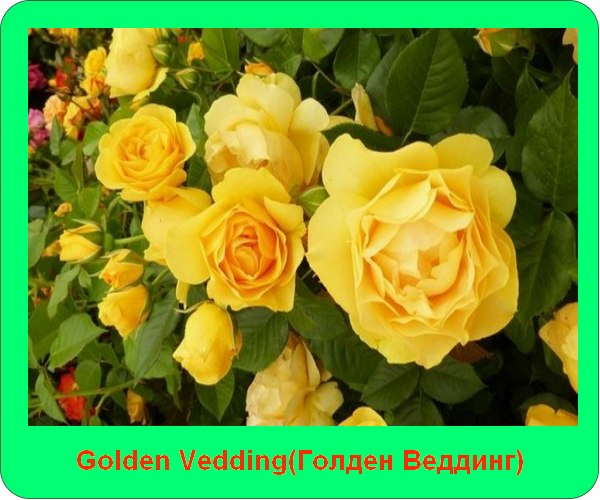 Golden Vedding