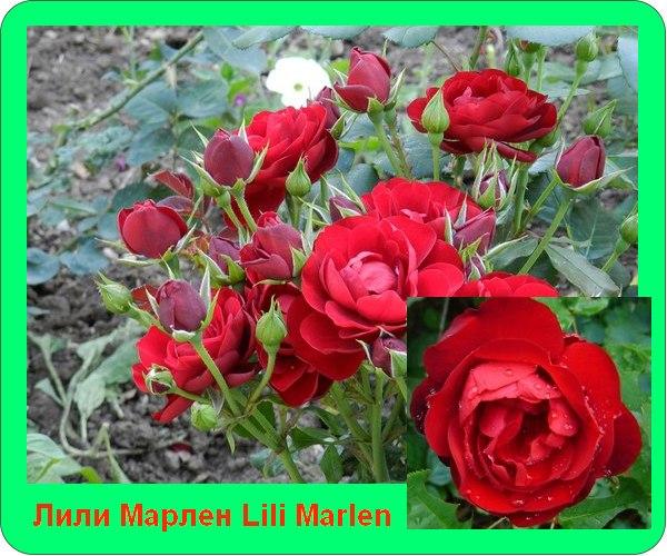 Lili Marlen