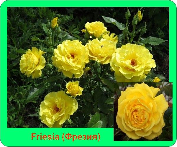 Фрезия