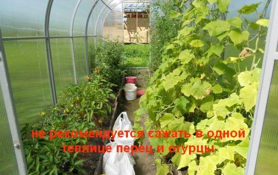 Выращивание перца и огурцов в теплице
