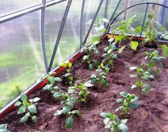 Выращивание перца в закрытом грунте