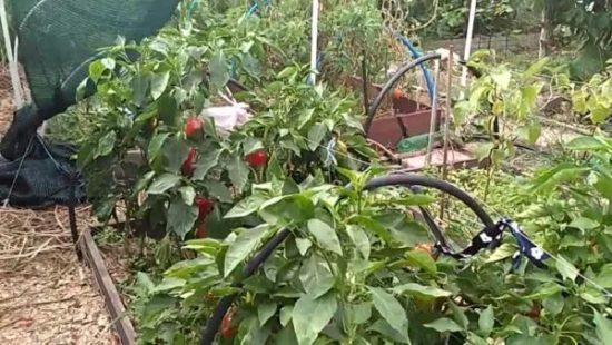 Выращивание перца на юге